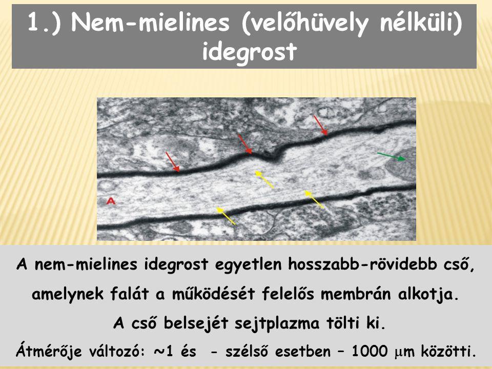 1.) Nem-mielines (velőhüvely nélküli) idegrost A nem-mielines idegrost egyetlen hosszabb-rövidebb cső, amelynek falát a működését felelős membrán alko