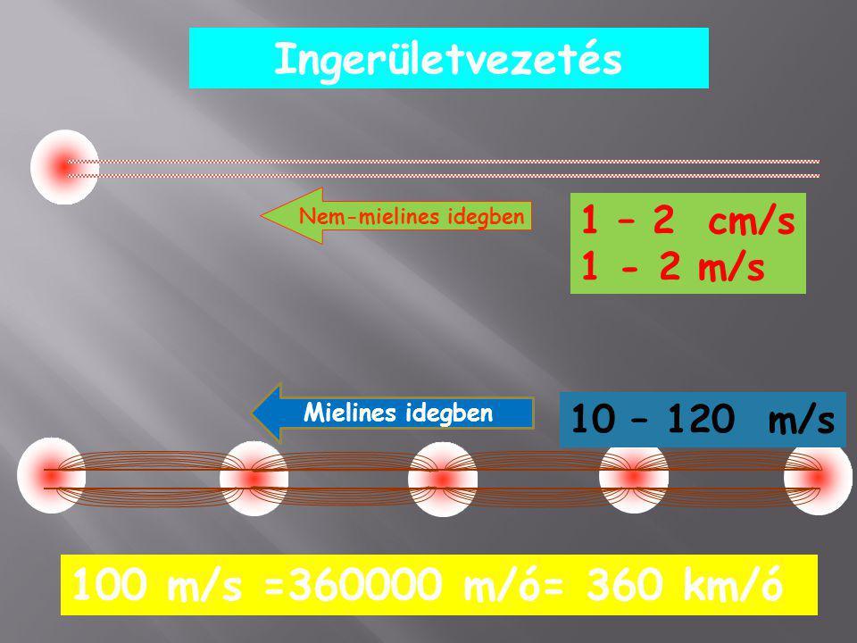 Ingerületvezetés Nem-mielines idegben Mielines idegben 1 – 2 cm/s 1 - 2 m/s 10 – 120 m/s 100 m/s =360000 m/ó= 360 km/ó
