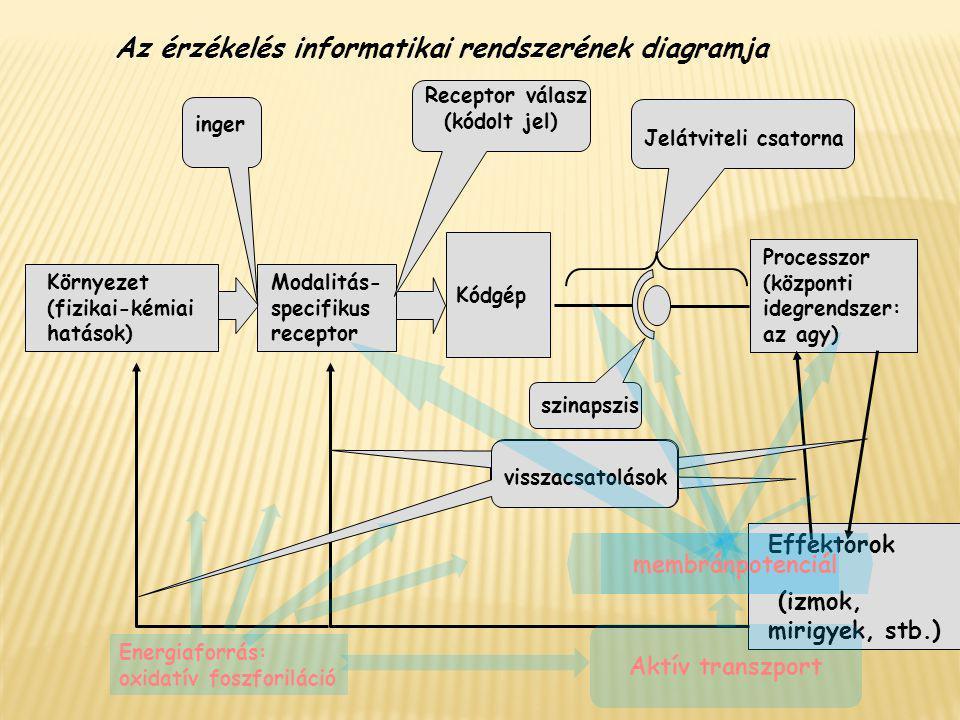 Környezet (fizikai-kémiai hatások) Kódgép Modalitás- specifikus receptor inger Receptor válasz (kódolt jel) Jelátviteli csatorna szinapszis Processzor