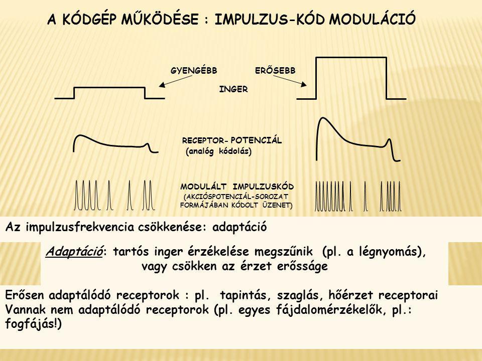 A KÓDGÉP MŰKÖDÉSE : IMPULZUS-KÓD MODULÁCIÓ INGER RECEPTOR- POTENCIÁL (analóg kódolás) MODULÁLT IMPULZUSKÓD (AKCIÓSPOTENCIÁL-SOROZAT FORMÁJÁBAN KÓDOLT