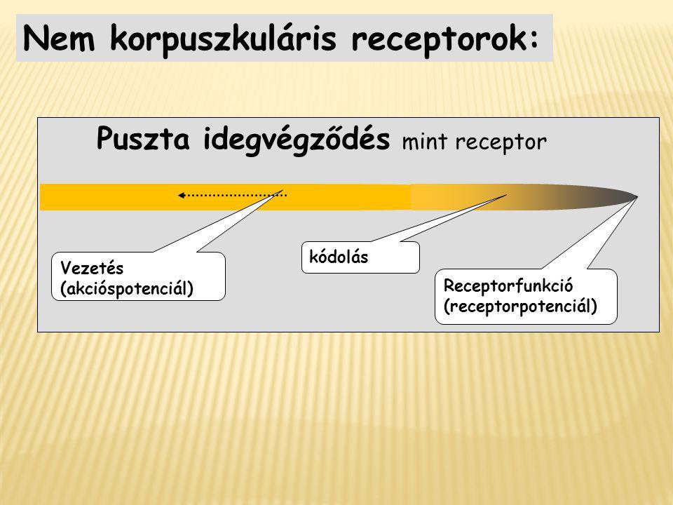 Puszta idegvégződés mint receptor Nem korpuszkuláris receptorok: Vezetés (akcióspotenciál) kódolás Receptorfunkció (receptorpotenciál)