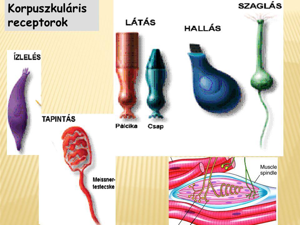Korpuszkuláris receptorok