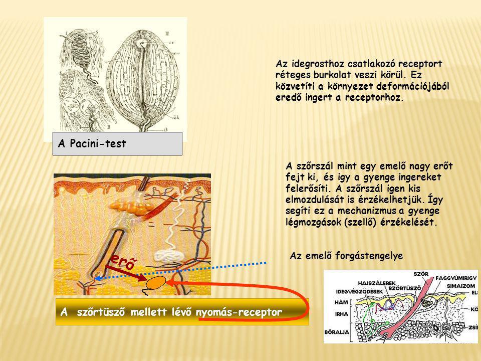 A Pacini-test Az idegrosthoz csatlakozó receptort réteges burkolat veszi körül. Ez közvetíti a környezet deformációjából eredő ingert a receptorhoz. A