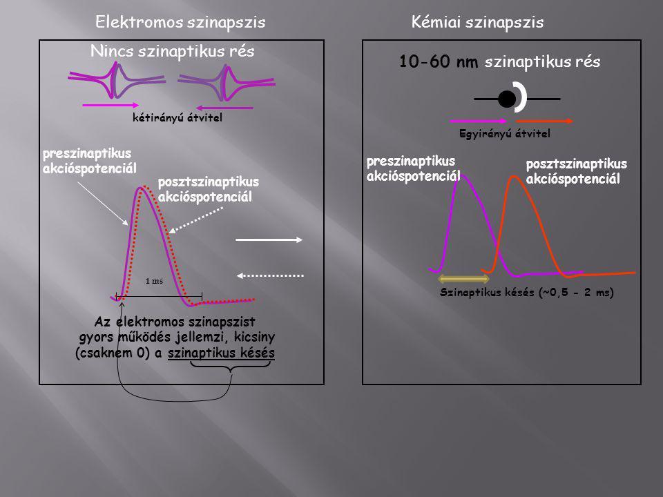preszinaptikus akcióspotenciál posztszinaptikus akcióspotenciál Az elektromos szinapszist gyors működés jellemzi, kicsiny (csaknem 0) a szinaptikus ké