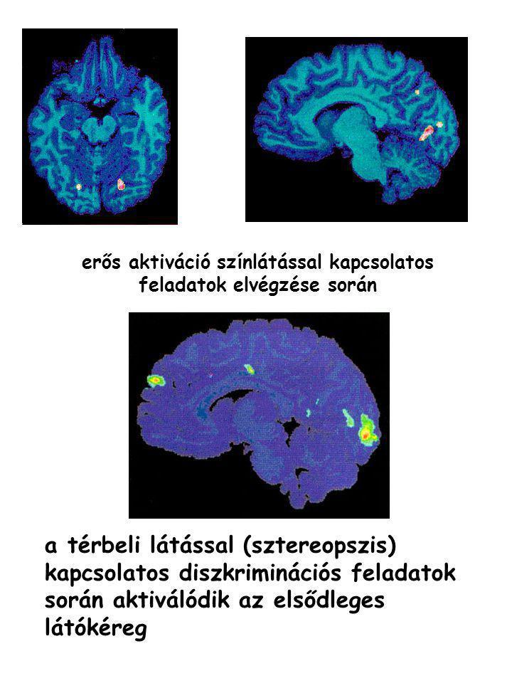 erős aktiváció színlátással kapcsolatos feladatok elvégzése során a térbeli látással (sztereopszis) kapcsolatos diszkriminációs feladatok során aktivá