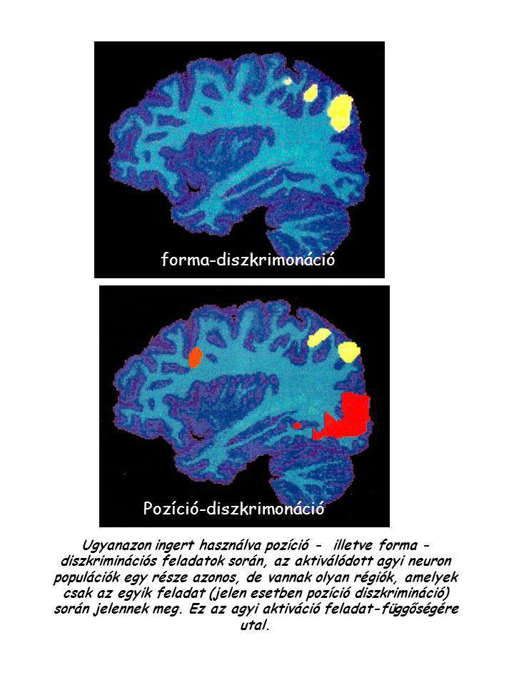 Ugyanazon ingert használva pozíció - illetve forma - diszkriminációs feladatok során, az aktiválódott agyi neuron populációk egy része azonos, de vann