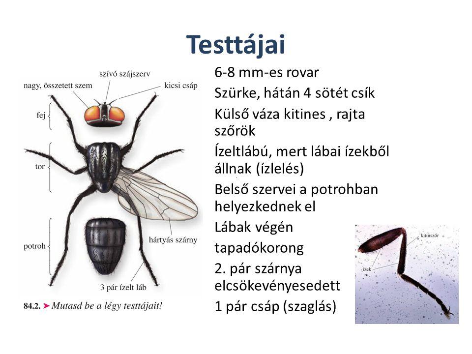 Testtájai 6-8 mm-es rovar Szürke, hátán 4 sötét csík Külső váza kitines, rajta szőrök Ízeltlábú, mert lábai ízekből állnak (ízlelés) Belső szervei a p