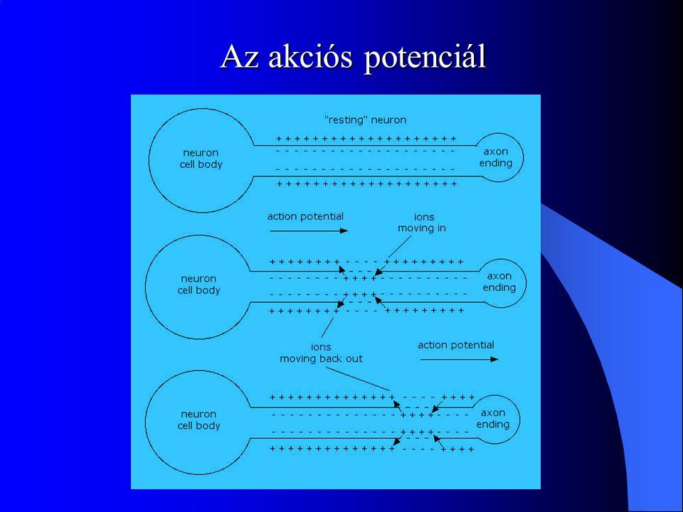 az idegsejt aktív depolarizáció: a sejtmembrán belseje kevésbé negatív szelektív ionáramlás (Na, K, Ca, Cl) a mielin és a sebesség