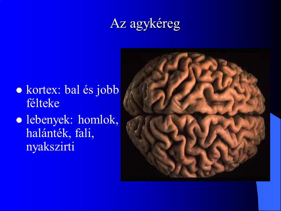 Az agykéreg kortex: bal és jobb félteke lebenyek: homlok, halánték, fali, nyakszirti