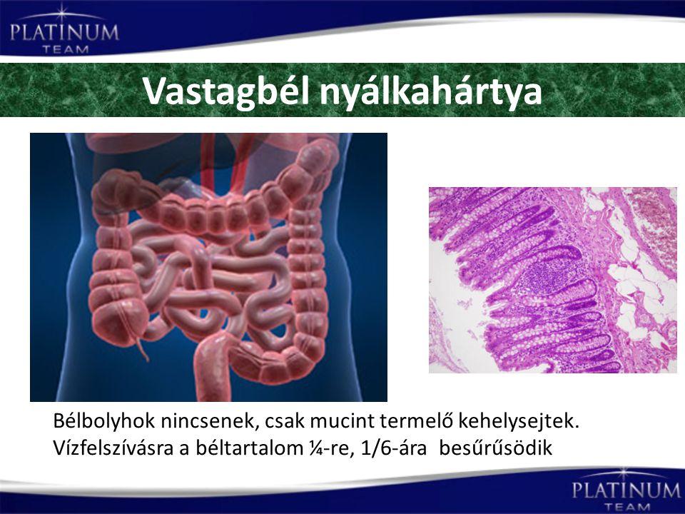 Vastagbél nyálkahártya Bélbolyhok nincsenek, csak mucint termelő kehelysejtek.
