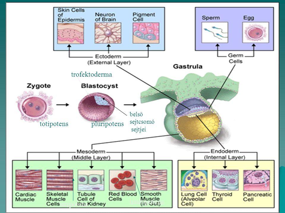 totipotenspluripotens multipotens unipotens trofektoderma belső sejtcsomó sejtjei