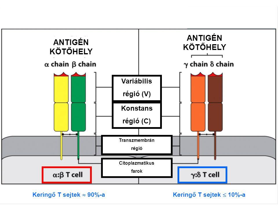 Keringő T sejtek  90%-a ANTIGÉN KÖTŐHELY Variábilis régió (V) Konstans régió (C) Transzmembrán régió Citoplazmatikus farok Keringő T sejtek  10%-a