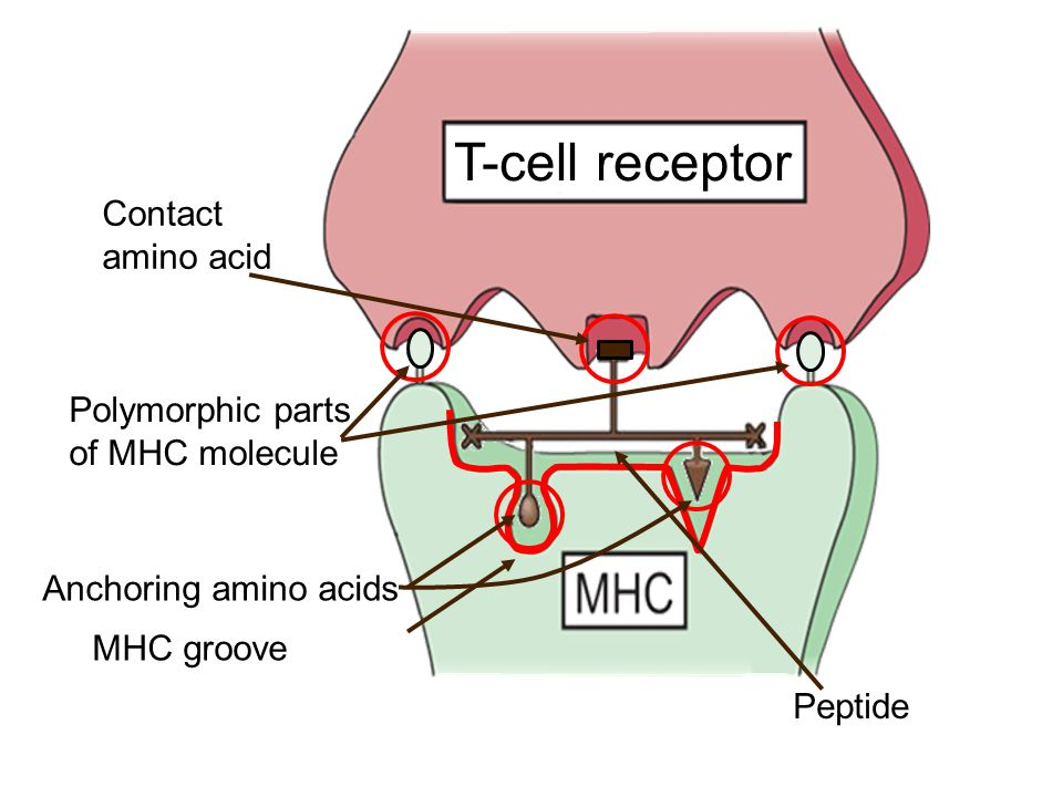 MHC groove Anchoring amino acids Contact amino acid Peptide Polymorphic parts of MHC molecule T-cell receptor