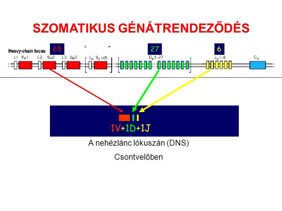 A nehézlánc lókuszán (DNS) Csontvelőben SZOMATIKUS GÉNÁTRENDEZŐDÉS 6527276 1V+1D+1J