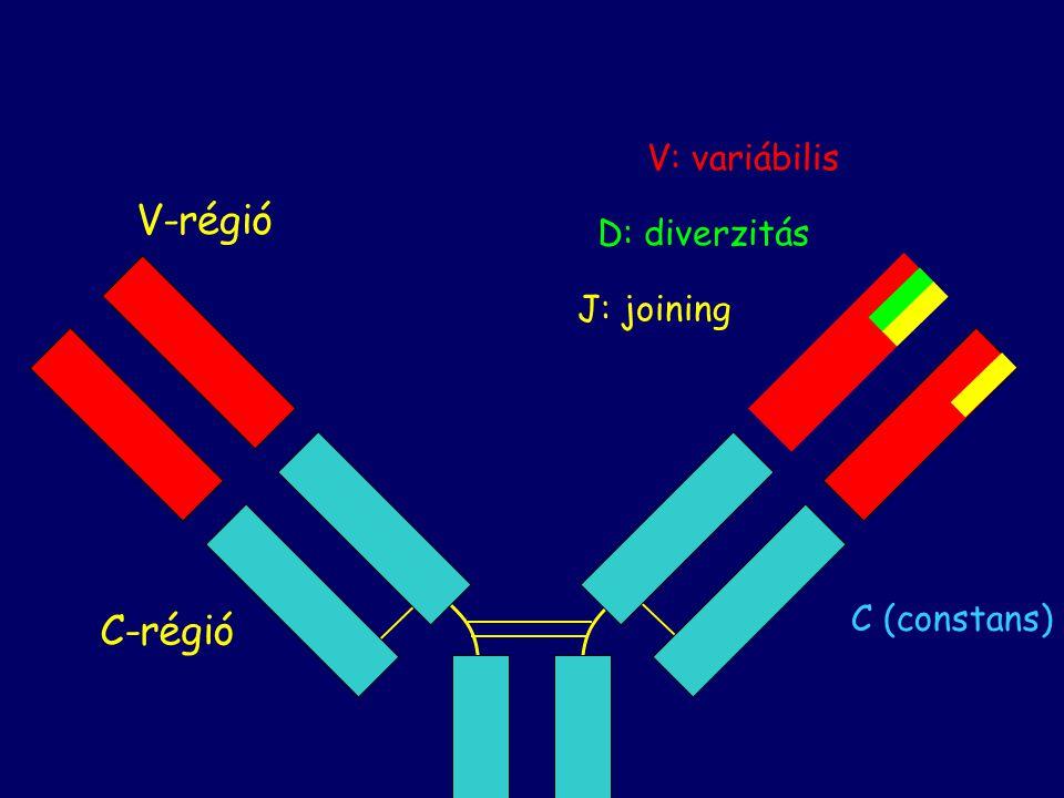 V-régió V: variábilis D: diverzitás J: joining C (constans) C-régió