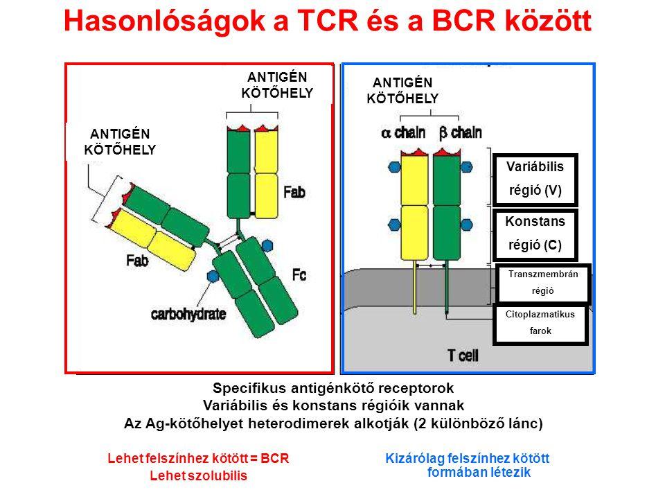 Hasonlóságok a TCR és a BCR között Kizárólag felszínhez kötött formában létezik Specifikus antigénkötő receptorok Variábilis és konstans régióik vanna