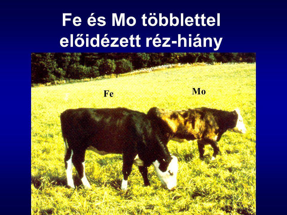 Fe és Mo többlettel előidézett réz-hiány Fe Mo