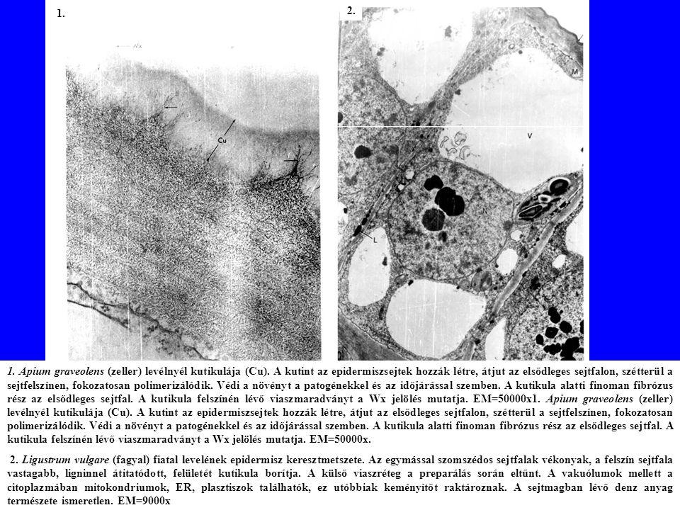 1.Apium graveolens (zeller) levélnyél kutikulája (Cu).