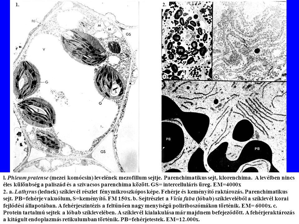 l.Phleum pratense (mezei komócsin) levelének mezofillum sejtje.