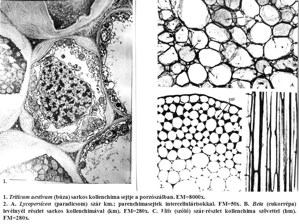 1.Triticum aestivum (búza) sarkos kollenchima sejtje a porzószálban.