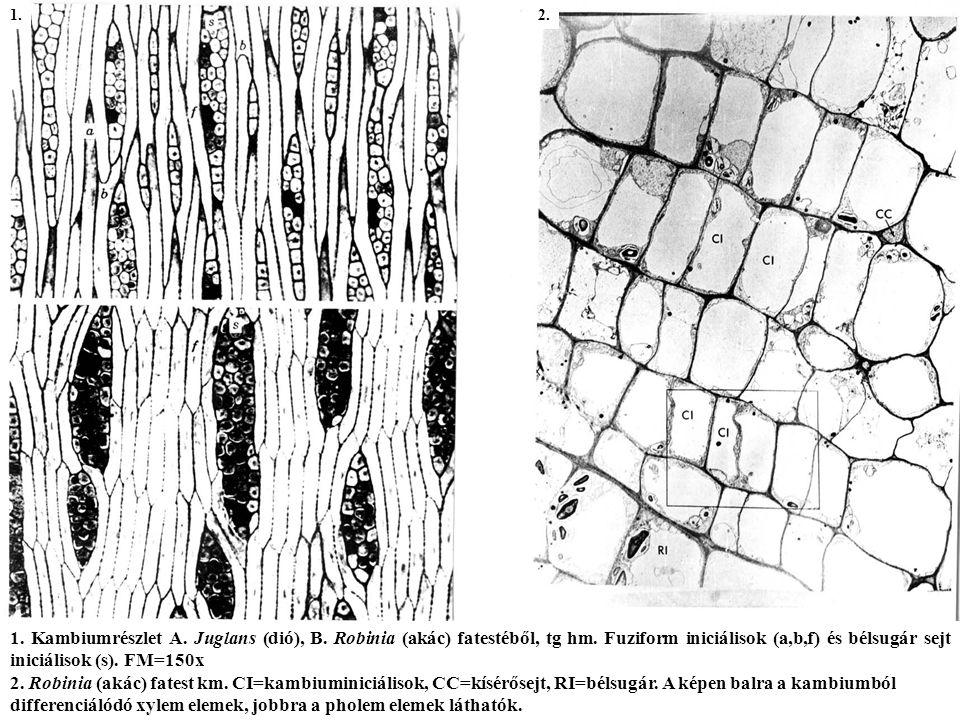 1.Kambiumrészlet A. Juglans (dió), B. Robinia (akác) fatestéből, tg hm.