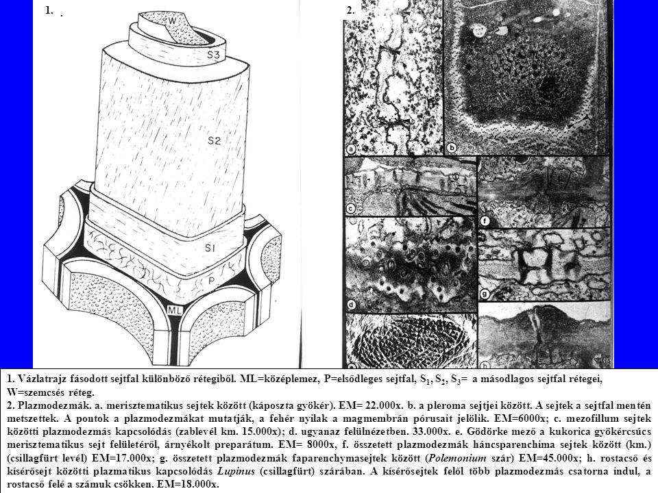 1.Vázlatrajz fásodott sejtfal különböző rétegiből.