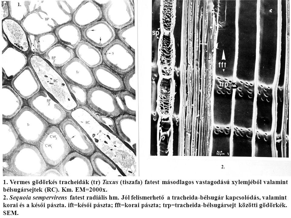 1. Vermes gödörkés tracheidák (tr) Taxus (tiszafa) fatest másodlagos vastagodású xylemjéből valamint bélsugársejtek (RC). Km. EM=2000x. 2. Sequoia sem