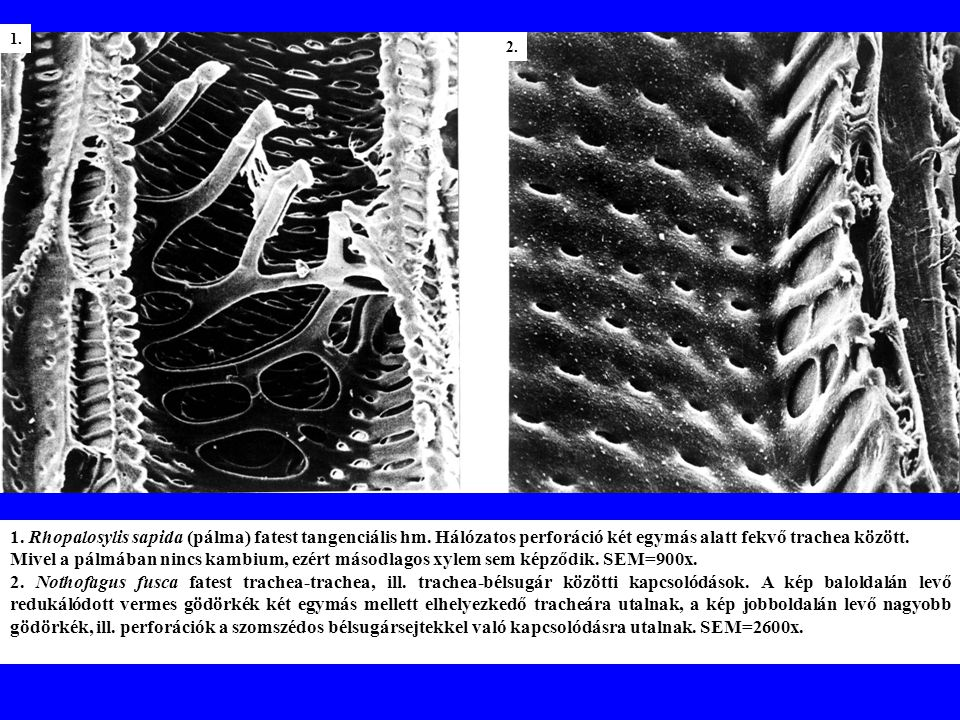 1.Rhopalosylis sapida (pálma) fatest tangenciális hm.