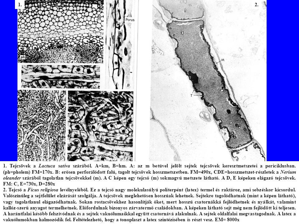 1.Tejcsövek a Lactuca sativa szárából. A=km, B=hm.