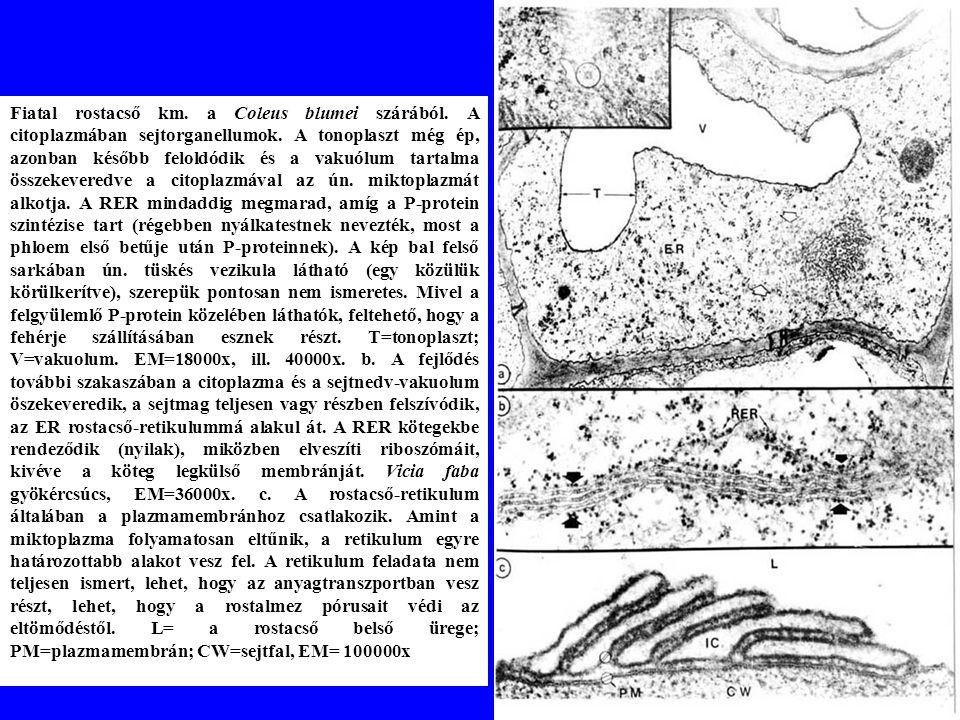 Fiatal rostacső km.a Coleus blumei szárából. A citoplazmában sejtorganellumok.