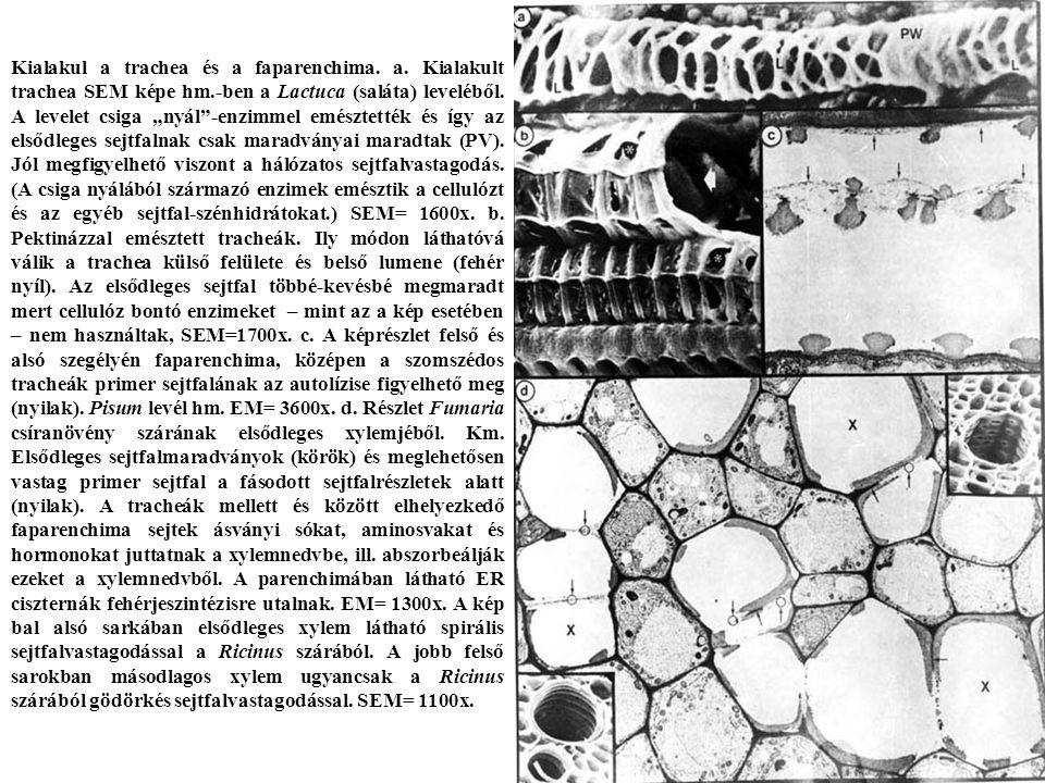 Kialakul a trachea és a faparenchima.a.