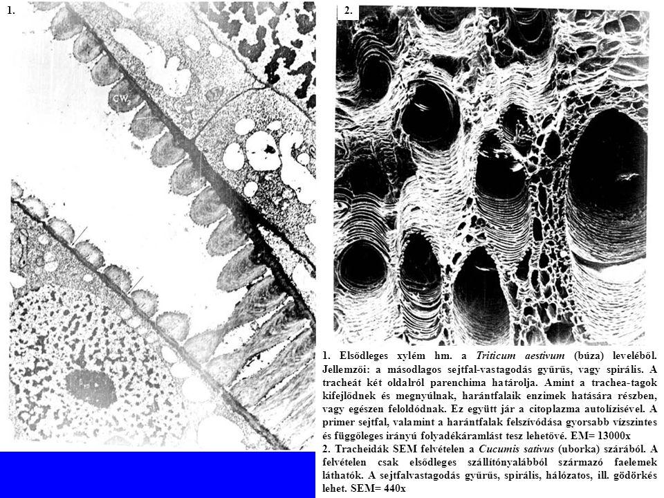 1.Elsődleges xylém hm. a Triticum aestivum (búza) leveléből.