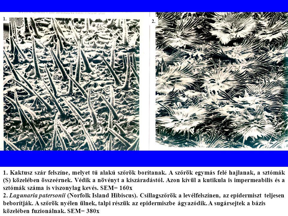 1.Kaktusz szár felszíne, melyet tű alakú szőrök borítanak.