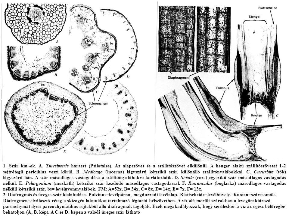 1.Szár km.-ek. A. Tmesipteris haraszt (Psilotales).