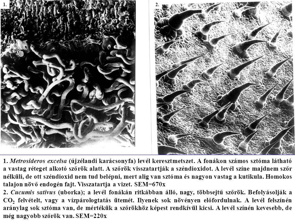 1.Atriplex spongiosa sótömlői. Ez a növény száraz helyen nő, gyakran szíkes talajon.