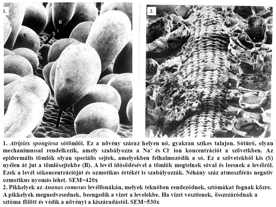 Viasz a Dianthus sp.(szegfű) levélfelszín kutikula rétegén.