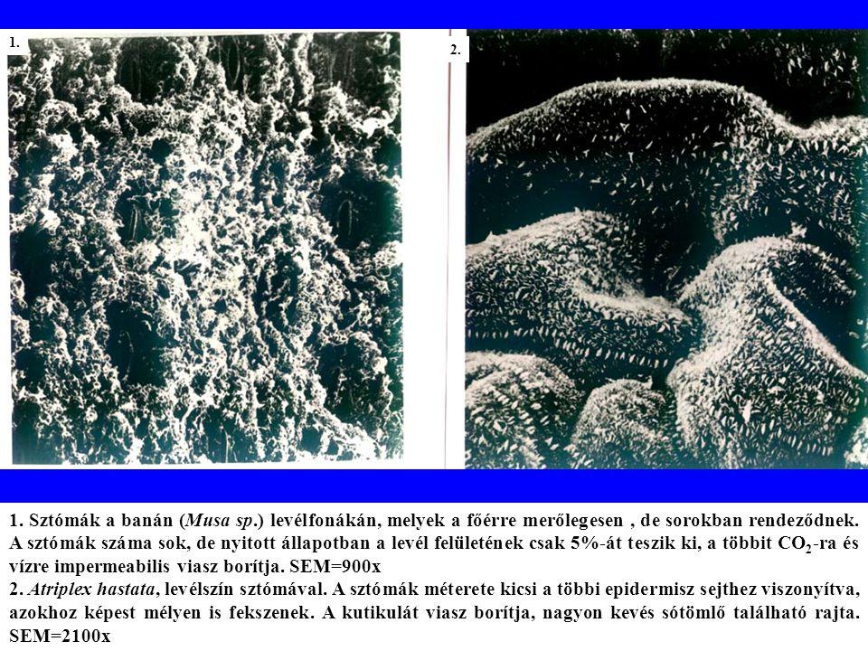 1.Gossypium hirsutum (gyapot) levélszín sztómákkal.