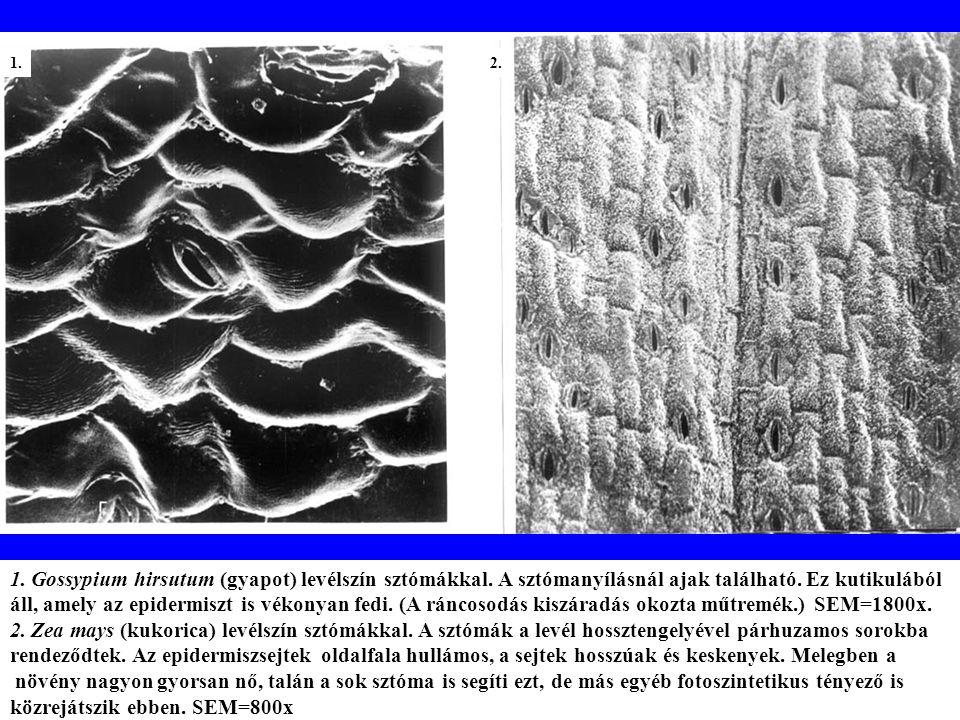 A szállítónyaláb differenciálódásának egymást követő fejlődési állapotai a Zea mays levelében (km.).