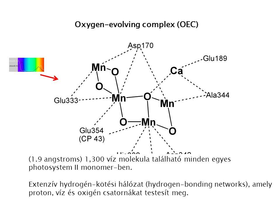 Oxygen-evolving complex (OEC) (1.9 angstroms) 1,300 víz molekula található minden egyes photosystem II monomer-ben. Extenzív hydrogén-kötési hálózat (