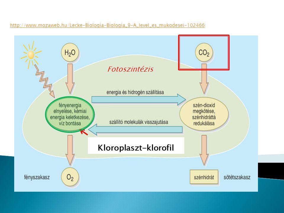 http://www.mozaweb.hu/Lecke-Biologia-Biologia_9-A_level_es_mukodesei-102466 Kloroplaszt-klorofil Fotoszintézis