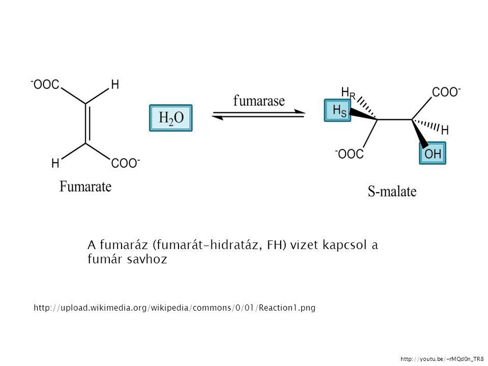 http://upload.wikimedia.org/wikipedia/commons/0/01/Reaction1.png A fumaráz (fumarát-hidratáz, FH) vizet kapcsol a fumár savhoz http://youtu.be/-rMQd0n