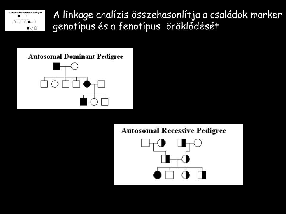 A linkage analízis összehasonlítja a családok marker genotípus és a fenotípus öröklődését