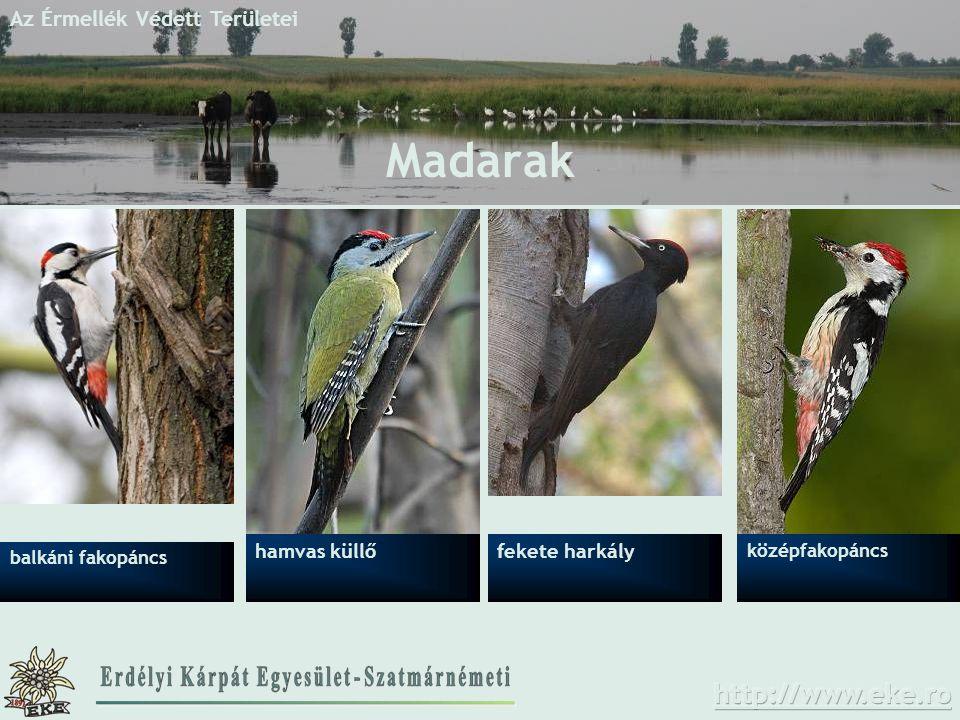 Az Érmellék Védett Területei Madarak középfakopáncs hamvas küllő balkáni fakopáncs fekete harkály
