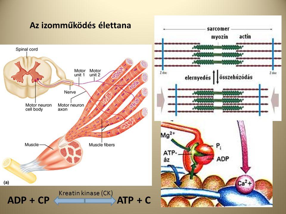 ADP + CPATP + C Kreatin kinase (CK) Az izomműködés élettana