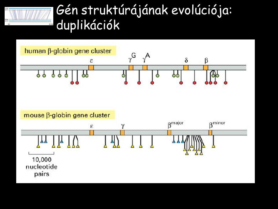 Gén struktúrájának evolúciója: duplikációk