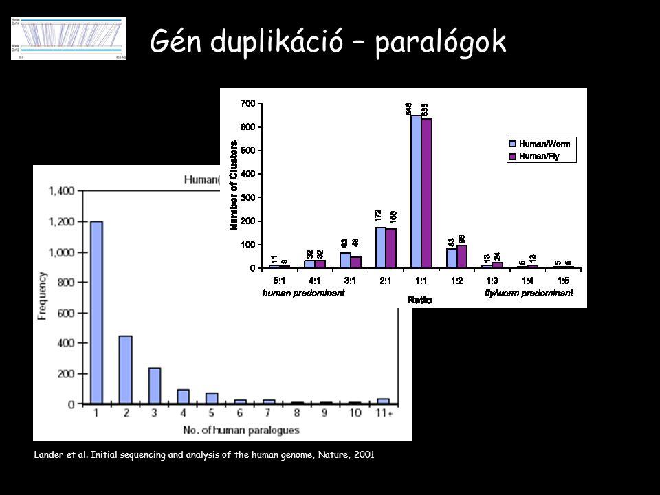 Gén duplikáció – paralógok Lander et al.