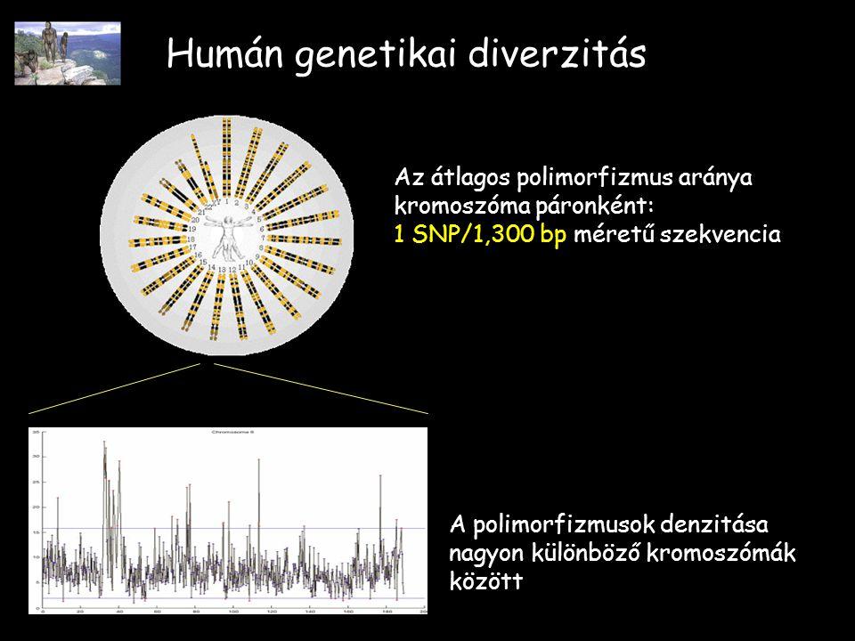 Humán genetikai diverzitás A polimorfizmusok denzitása nagyon különböző kromoszómák között Az átlagos polimorfizmus aránya kromoszóma páronként: 1 SNP/1,300 bp méretű szekvencia