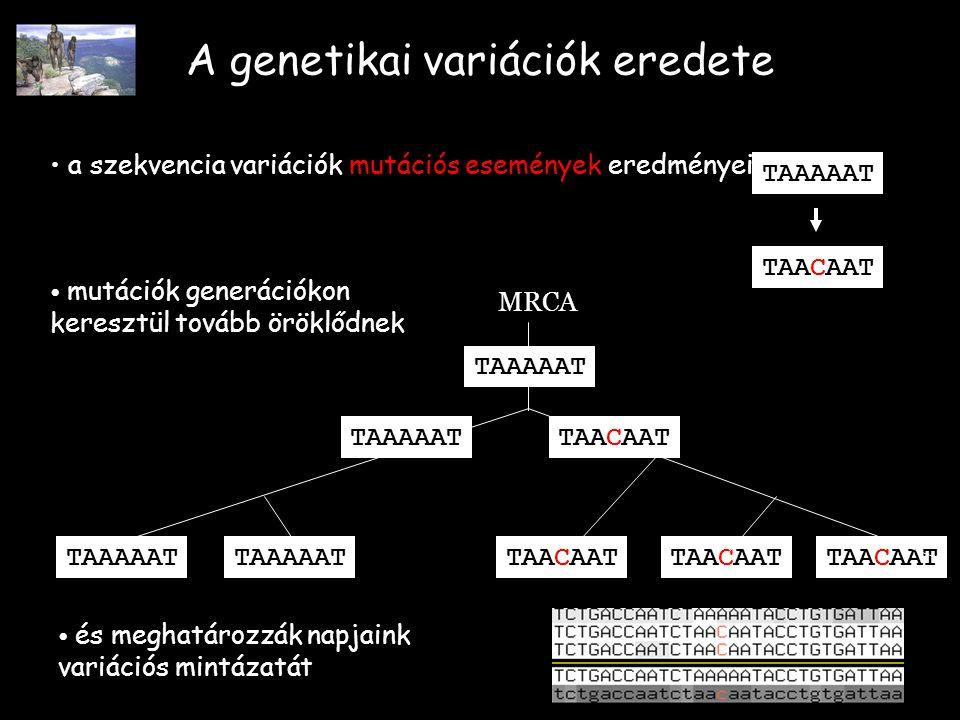 A genetikai variációk eredete a szekvencia variációk mutációs események eredményei TAAAAAT TAACAAT TAAAAAT TAACAAT TAAAAATTAACAAT TAAAAAT MRCA mutációk generációkon keresztül tovább öröklődnek és meghatározzák napjaink variációs mintázatát