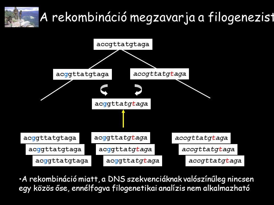 A rekombináció megzavarja a filogenezist acggttatgtaga accgttatgtaga acggttatgtaga accgttatgtaga A rekombináció miatt, a DNS szekvenciáknak valószínűleg nincsen egy közös őse, ennélfogva filogenetikai analízis nem alkalmazható