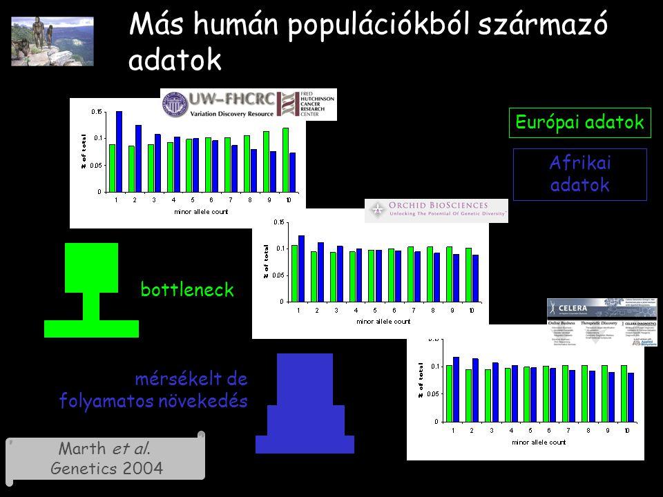Más humán populációkból származó adatok Európai adatok Afrikai adatok bottleneck mérsékelt de folyamatos növekedés Marth et al.